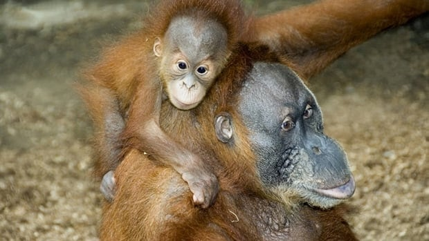 A group wants to donate iPads to the Toronto Zoo for use by orangutans such as Puppe and her offspring Budi.