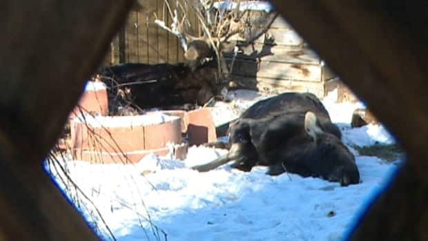 Two moose siblings were removed from a Calgary backyard Sunday.