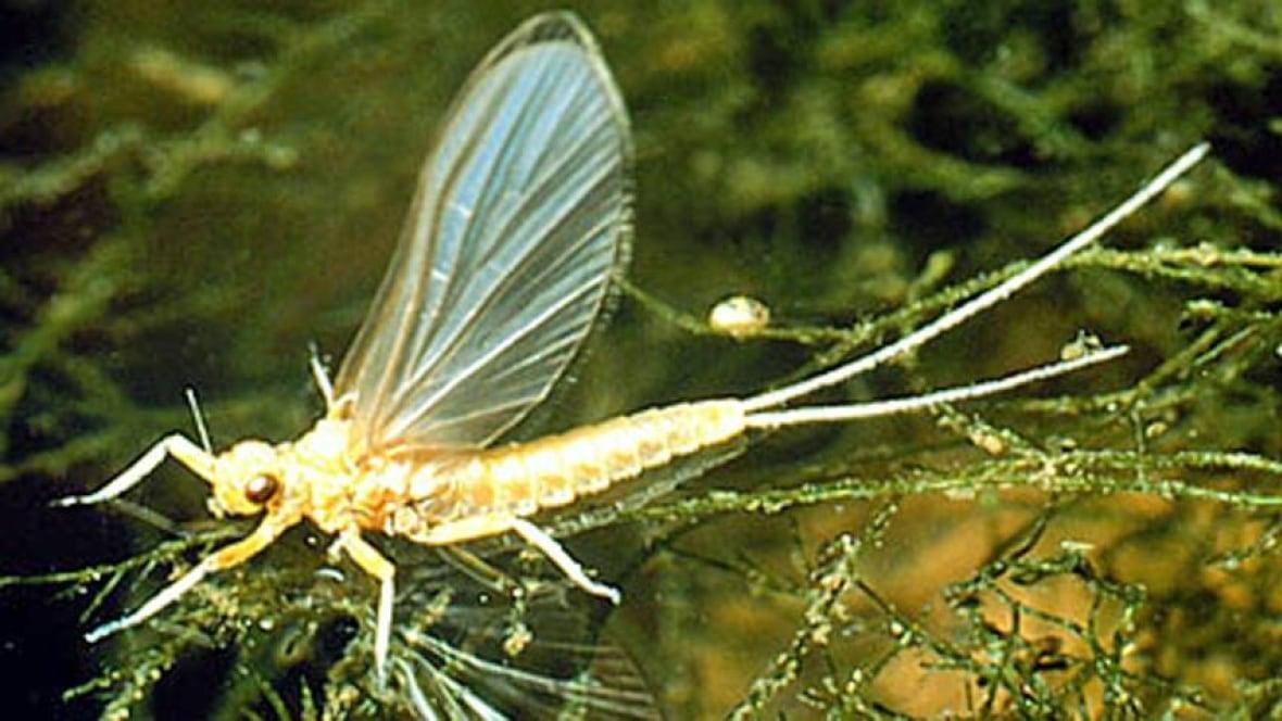 Call Them Mayflies Not June Bugs Biologist Says Windsor Cbc News