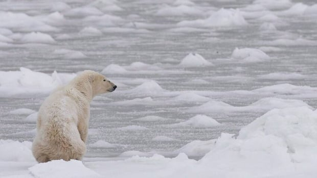Meetings scheduled for Feb. 12 in Inukjuaq, Que. could produce the first total allowable harvest for polar bears in Nunavik. Right now, there is a voluntary quota in place of 60 bears from the southern Hudson Bay polar bear population, which is shared by Quebec, Ontario and Sanikiluaq.