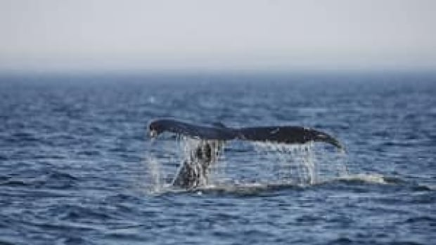 Environmental groups say the Northern Gateway pipeline and shipping route would jeopardize Pacific Humpback Whales, Nechako White Sturgeon, Marbled Murrelets and Southern Mountain Caribou .
