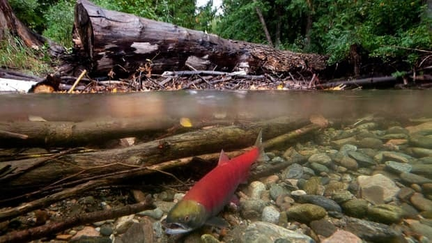 Spawning sockeye salmon are seen making their way up the Adams River in Roderick Haig-Brown Provincial Park near Chase, B.C. in Oct. 2011.