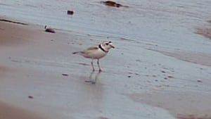 pe-tp-piping-plover
