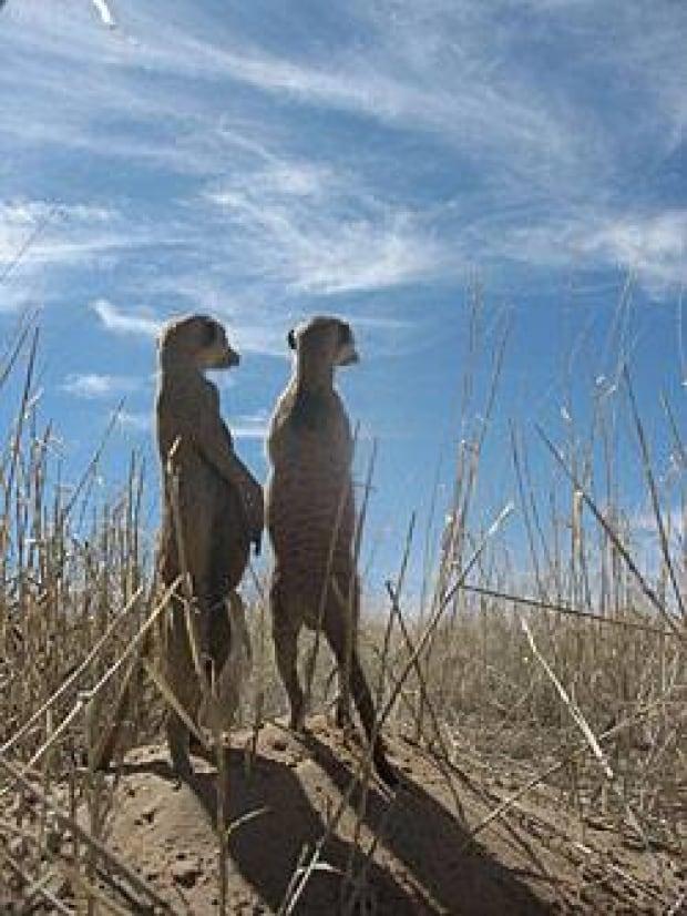 sm-250-meerkats-lukas8hr