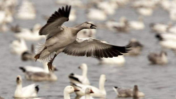 A snow goose lands on the Reservoir Beaudet in Victoriaville, Que., Wednesday, October 12, 2011.