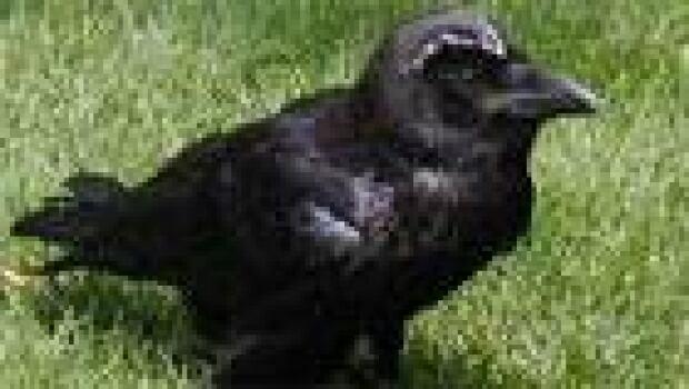 thumb-raven2006
