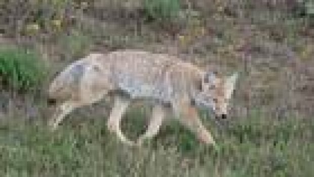 thumb-coyote-vera-csada0911