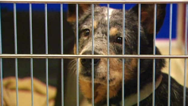 Eighteen cattle dogs from a ranch in Priddis are being cared for by animal rescue groups until they can be adopted.