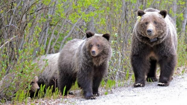 One of Banff's most famous grizzly bears, Bear 64, and her three cubs pictured in the early morning hours of May 31, 2012.