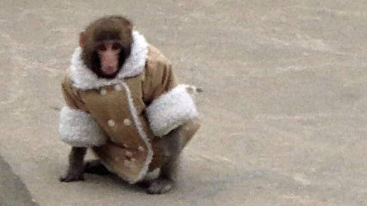 ikea monkey darwins former owner has 2 new monkeys