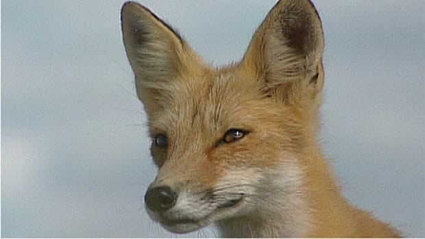 If you see a red fox in an urban or rural area, participate in the project by reporting your sighting at upei.ca/redfox.