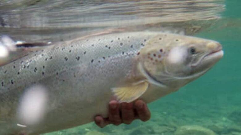 hi-salmon-852