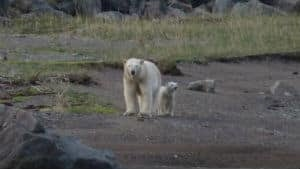 nl-300-polar-bears-20130816