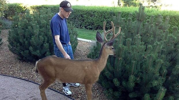 Ernie Vanosch was out doing yardwork when the buck walked right up to him and started nuzzling and nibbling on the bushes.