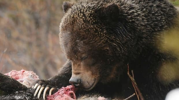 Grizzly bear No. 122 feeds on a moose carcass last April. The roughly 300-kilogram bear ate a black bear in Banff National Park earlier this month.