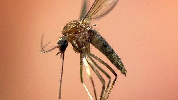 West Nile virus has made a recent comeback in Quebec after several years of being off the radar.