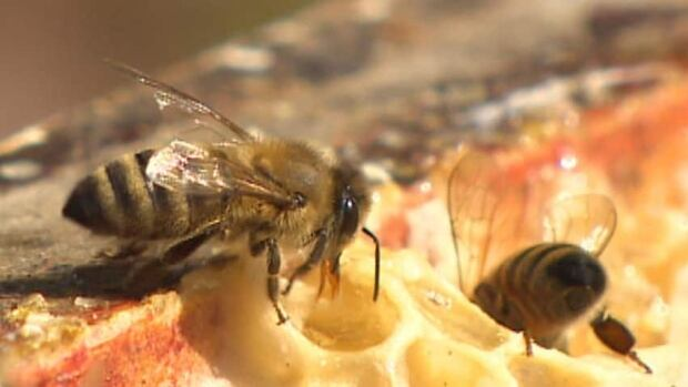 In an effort to protect honeybees, grain farmers in Ontario will have new guidelines to follow this planting season.