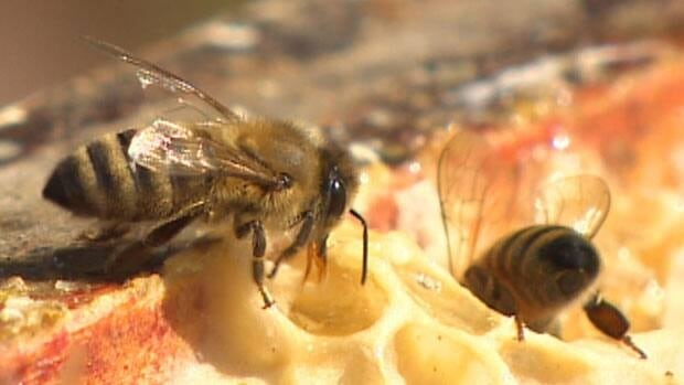 The honey bee population on the island of Newfoundland is thriving.