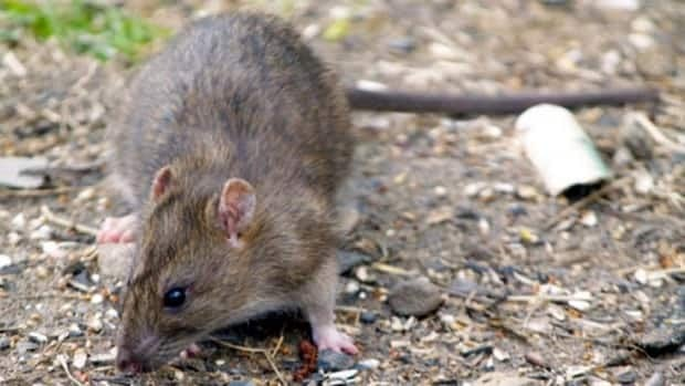 A longer and sunnier summer could be to blame for a boom in the rat population.