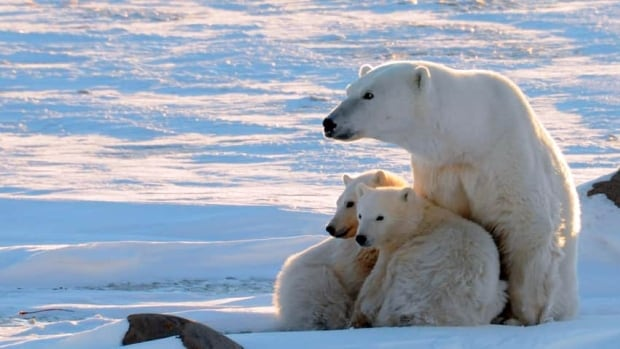 All three chairs of the regional wildlife boards say there are more polar bears in Foxe Basin than ever before.