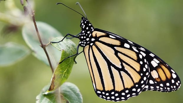 A monarch butterfly perches on a tree branch in Montpelier, Vt., in this August 2012 photo.