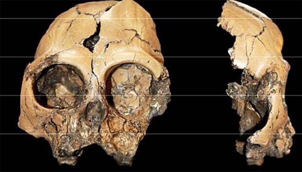 li-ape-cranium-copy