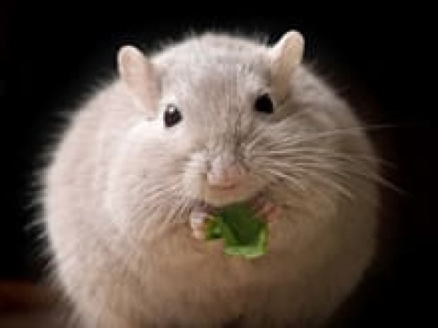 si-fat-mouse-istock
