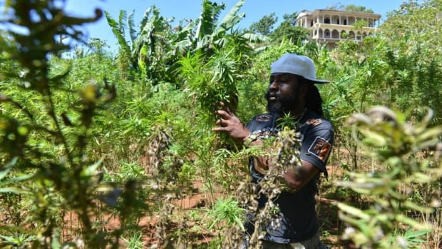 A farmer nicknamed Breezy shows his illegal patch of budding marijuana plants during a tour of his land in Jamaica's central mountain town of Nine Mile. Breezy says Americans, Germans and increasingly Russian tourists have toured his farm and sampled his crop.