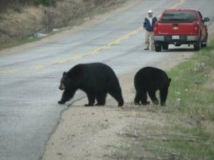 Bears on the NWR raod