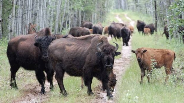 Bison crowd a road in Wood Buffalo National Park in N.W.T. Yukon's growing wood bison herd continues to elude hunters this year.  (Submitted by Carolyn Matthews)