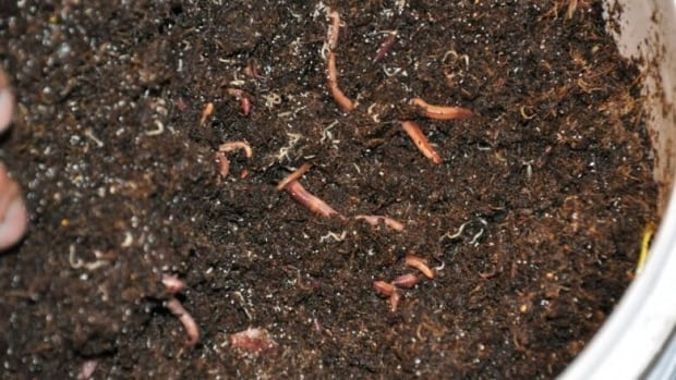 Learn how to compost with worms — called vermicomposting — Saturday at the REEP House for Sustainable Living.