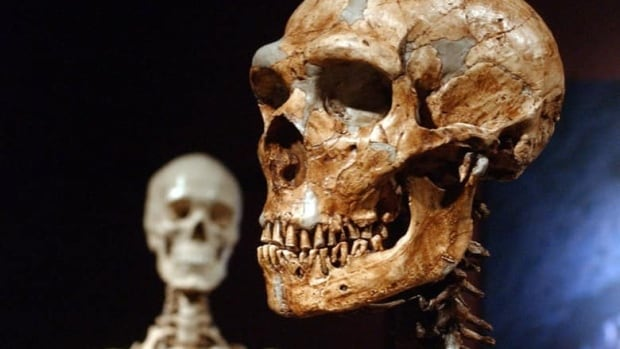 A reconstructed Neanderthal skeleton, right, is displayed next to a modern human skeleton at the Museum of Natural History in New York. A new study shows humans and Neanderthals interbred 100,000 years ago, far earlier than thought.