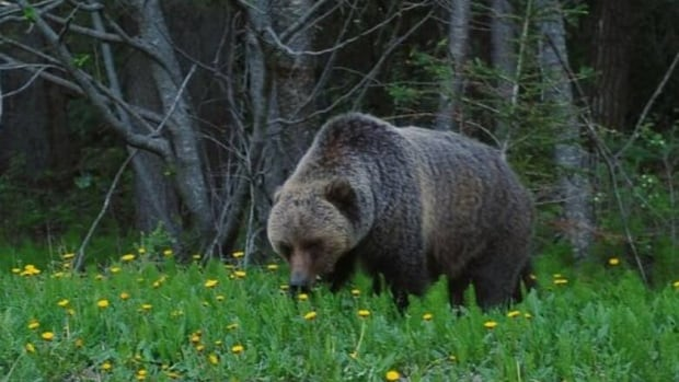 A grizzly bear near Prince George, B.C.