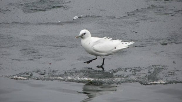 Mercury levels in modern gulls are 45 times higher than they were in the 19th century, biologist Alex Bond found in his research.