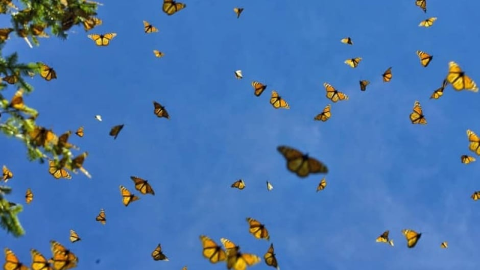 Monarch butterflies flutter against the sky in the Oyamel forest at El Rosario sanctuary in Angangueo, state of Michoacan, Mexico. New research suggests that they come from a wider range of regions throughout North America than previously thought.
