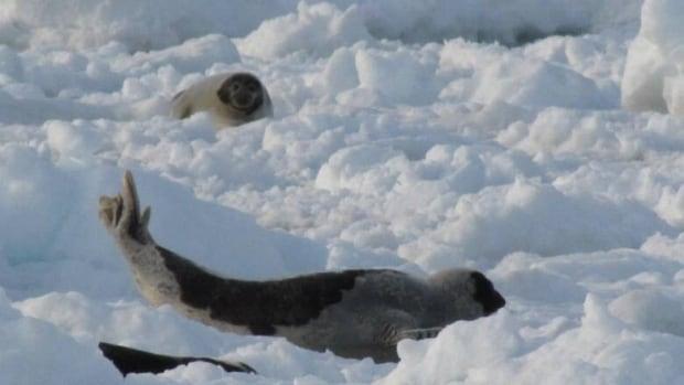 Seals near Bear Cove on Newfoundland's Northern Peninsula.