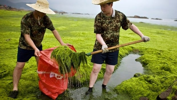 Soldiers clear algae from China's Qingdao coastline in 2008. Phosphorus is one of the main contributors to algae blooms, and a new study reveals more about the phosphorus cycle. (Nir Elias/Reuters)