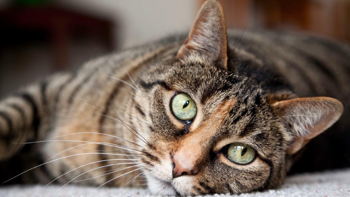 Nova Scotia Humane Society Cats