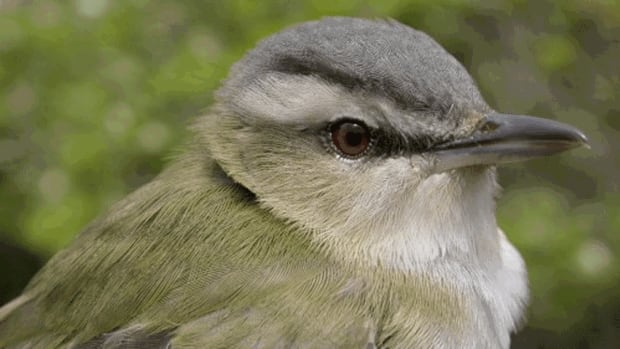A large number of red-eyed vireos were among the estimated 7,500 migrating songbirds killed by the flare at Canaport LNG in Saint John.