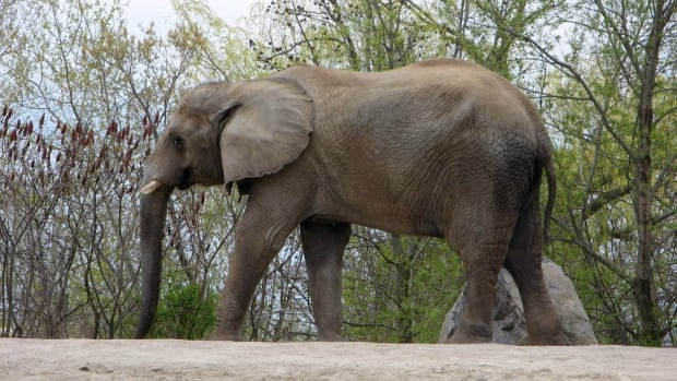 Thika, one of the Toronto Zoo's three elephants, walks around it's enclosure in this photo from May 2011. Following several delays, Thika and two other elephants, Toka and Iringa , will travel to the PAWS Wildlife Sanctuary near Sacramento, Calif., after the Thanksgiving weekend.