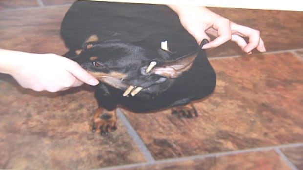 A dachshund was seriously injured in April, when attacked by another dog in Witless Bay.