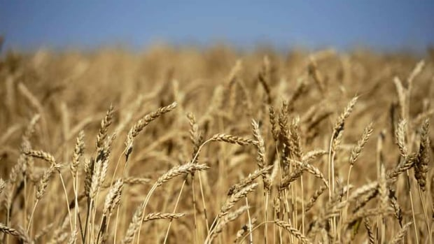 wheat-crop-prairies