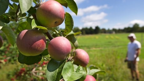 Food and Farm-New England Apples
