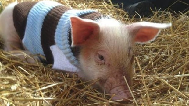 This piglet, now named Yoda, was adopted by the Wishing Well Sanctuary after a fall from a slaughterhouse-bound truck in Brossard.