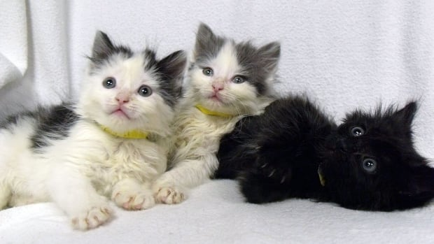 Ariel, Flouder and Sebastian pose for a picture after being rescued from a plastic bag along with two other kittens in a Winnipeg alley. They are about five weeks old.