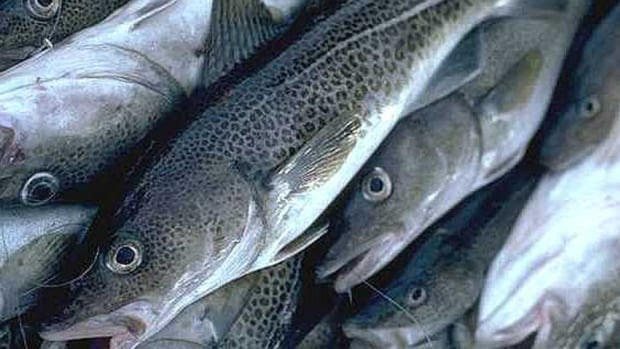 Cod harvesters are leaving more fish in the water due to low market prices in Canada.