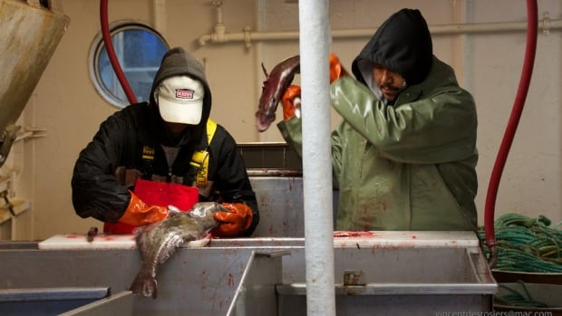Deck hands process some turbot caught on the Arctic Fishery Alliance's Atlantic Prospect.