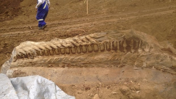 A 10-metre-long fossilized dinosaur was found by a pipeline crew working southwest of Spirit River, Alta., on Tuesday.