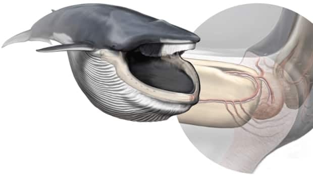 An artist's rendition of a fin whale, left, and the newly discovered sensory organ scientists found between the jaw bones of such whales. The nerve-filled chin cavity is responsible for co-ordinating the biomechanics of the extreme lunge-feeding strategy that rorqual whales use to gulp up prey.