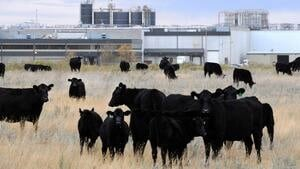 hi-cows-xl-852-cp03362803-4col